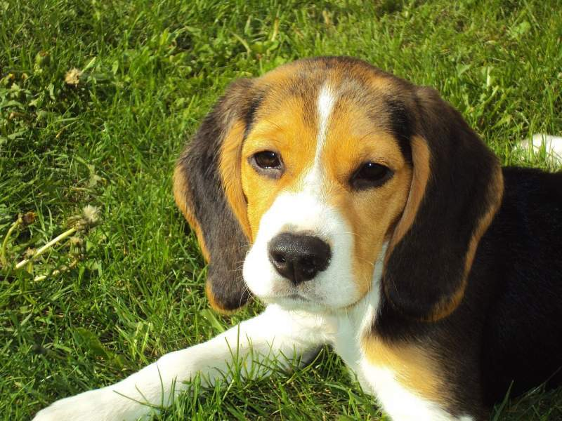 Beagle Breed Dog For Traveling