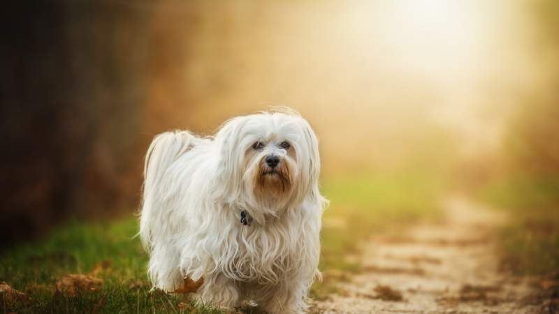 Havanese Breed Dog For Traveling