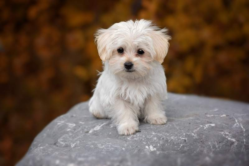 Maltese Breed Dog For Traveling