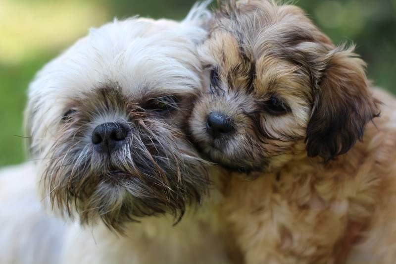 Shih Tzu Breed Dog For Traveling